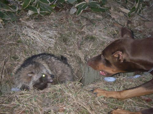 2006年早春、狸とお遊び